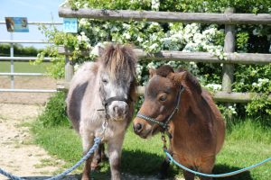 Miniature Shetland Meet and Greet @ Bransby Horses | Bransby | England | United Kingdom